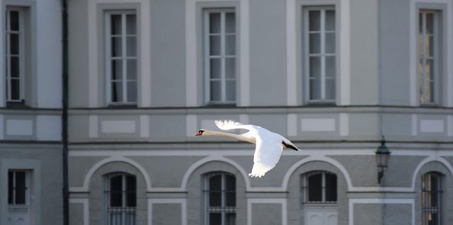 Letící labuť.jpg